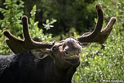 Moose Smile 2