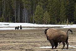 Grizzley Bear Cub 050717 3226