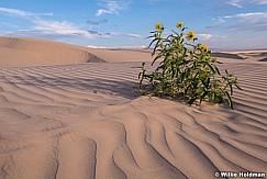 Sand Dune Daisy 082518 7421 3