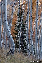 Pine Tree Srrounded 101219 8721 5