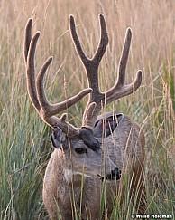 Mule Deer Buck 082018 6487 3