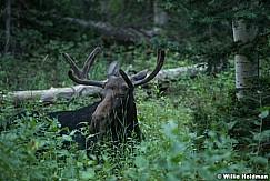 Moose Aspen Gove 082016 1118