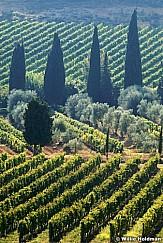 VineyardTuscany092509 051