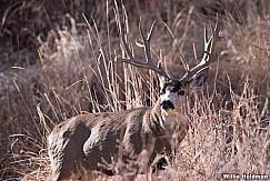 Mule Deer Buck 111318 8143 4