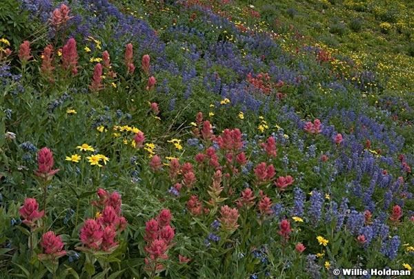 Timpanogos Wildflowers 083017 5958 5956