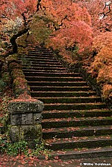 Japanese Maple Stairs 7562