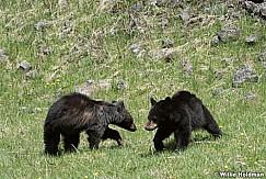 Black Bear Cub 050817 4484