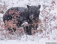 Black Bear Winter Berries 100118 6804
