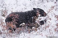 Black Bear Winter Berries 100118 6812