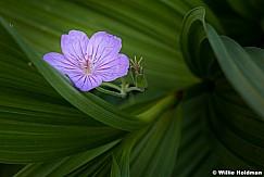 Geranium skunk cabbage 072117 3938