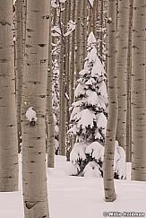 Winter Aspens 031419 0238F