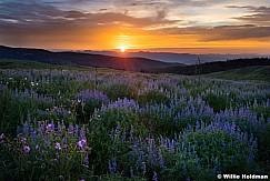 Lupine Sunset 072017 3770 61