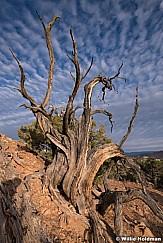 Aged Juniper Tree 092119 1169