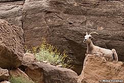 Desert BigHorn Grand Canyon 042417 7162