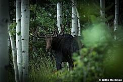 Moose Aspen Gove 082016 0876 3