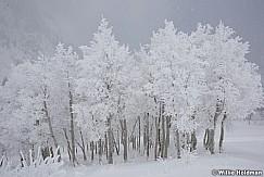 Frost Trees Sundance 4