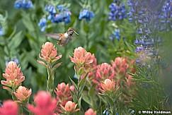 Timpanogos hummingbird 072916 5247 3