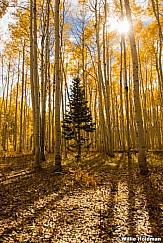Golden Aspens Sunburst 092916 8116