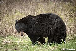 Black Bear 050817 5236