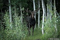 Moose Aspen Gove 082016 0892 3