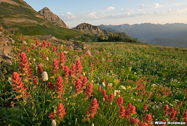 Timpanogos Wildflowers 072916 4437 3