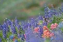 Timpanogos hummingbird 072916 5247 4