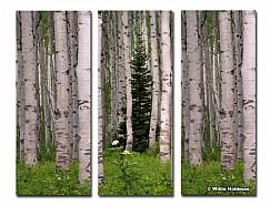 3 lone pine aspens Series