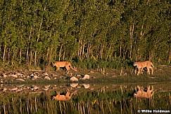 Mtn Lions Heber 061919 5117