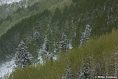 Spring Aspens Snow 011317 5015
