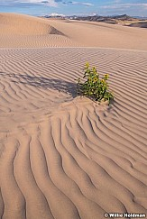 Sand Dune Daisy 082518 7402 3
