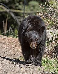 Black Bear Cub 050817 39181