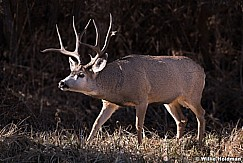 Mule Deer Buck 111318 8021 3