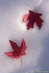 Red Maple Leaves Snow 101218 0590 3