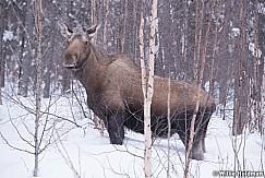 Moose Loose 030318 3890