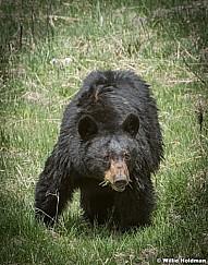 Black Bear Cub 050817 45861