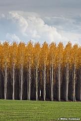 Rows of Trees Autumn 102516 7027