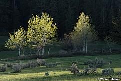 Spring Aspens 051017 7417