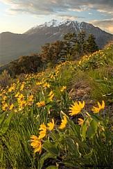 Timpanogos Spring Flowers 051816 5472 2