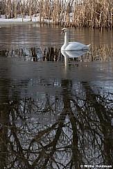 Lone Swan 020817 3791