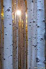 Sunburst Aspen Tree Trunk 101119 8342 4