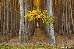 Poplar Tree Rows 102016 7219 1