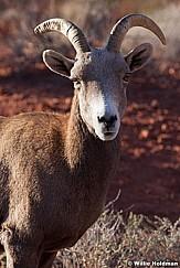 Bighorn Sheep Nevada 011113 460