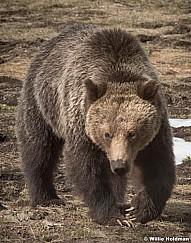 Grizzley Bear 050717 2865 8x10