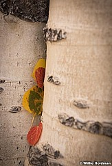 Colorful Aspen Leaves 092916 8165