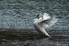 Full Breasted Swan 050617 1717 1