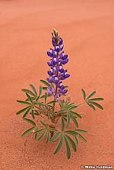 Purple Lupine SanRafael 050914 9560