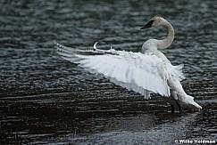 Full Breasted Swan 050617 1742