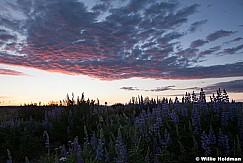 Sunrise Lupine 062913 1834