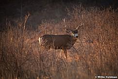 Mule Deer Henry Mountains 12917