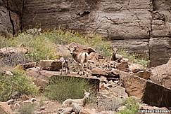 Desert BigHorn Grand Canyon 042417 7132